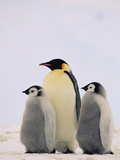 Emperor Penguin (Aptenodytes Forsteri) Parent with Two Chicks  Antarctica