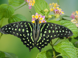 Green-Spotted Swallowtail (Graphium Tynderaeus) Butterfly  Tangkoko Batuangus Reserve  Indonesia