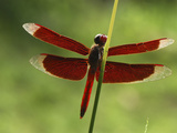 Dragonfly  Danum Valley Conservation Area  Borneo  Malaysia