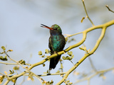 Broad-Billed Hummingbird (Cynanthus Latirostris) in Palo Verde Tree  Green Valley  Arizona