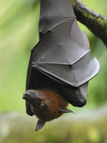 Large Flying Fox (Pteropus Vampyrus) Male Roosting  Malaysia