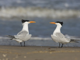 Royal Tern (Sterna Maxima) Pair on Beach  Rio Grande Valley  Texas