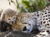 Cheetah (Acinonyx Jubatus) Mother and Seven Day Old Cub, Maasai Mara Reserve, Kenya Papier Photo par Suzi Eszterhas/Minden Pictures