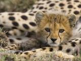 Cheetah (Acinonyx Jubatus) Cub Portrait  Maasai Mara Reserve  Kenya