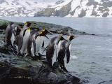King Penguins (Aptenodytes Patagonicus) Approaching Shoreline  South Georgia Island