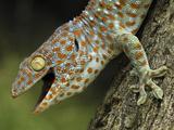 Tokay Gecko (Gekko Gecko)  in Defensive Posture  Thailand