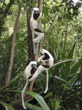 Coquerel's Sifaka (Propithecus Coquereli) Trio in Trees  Ankarafantsika Nat'l Park  Madagascar