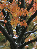 Fall Foliage of Maple Tree after an October Snowstorm