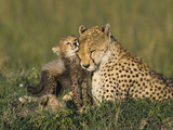 Cheetah (Acinonyx Jubatus) Mother Interacting with 8 to 9 Week Old Cubs  Maasai Mara Reserve  Kenya
