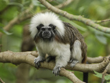 Cotton-Top Tamarin (Saguinus Oedipus) in Tree  Northern Colombia
