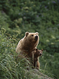 Grizzly Bear (Ursus Arctos Horribilis) Mother and Cub  Katmai Nat'l Park  Alaska