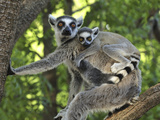Ring-Tailed Lemur (Lemur Catta) Female and Baby  Berenty Private Reserve  Madagascar