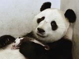 Giant Panda (Ailuropoda Melanoleuca) with Cub  Wolong Nature Reserve  China