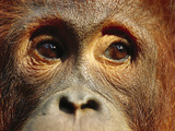 Orangutan (Pongo Pygmaeus) Close-Up  Borneo