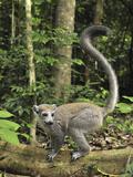 Crowned Lemur (Eulemur Coronatus) Female  Ankarana Special Reserve  Madagascar