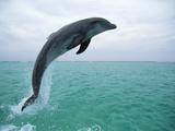 Bottlenose Dolphin (Tursiops Truncatus) Leaping  Honduras  Central America