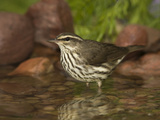 Northern Waterthrush (Seiurus Noveboracensis) Warbler Wading in Water  Rio Grande Valley  Texas