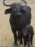 Cape Buffalo (Syncerus Caffer) Mother and 2 to 3 Day Old Newborn Calf  Masai Mara  Kenya