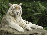 Tiger (Panthera Tigris)  White Morph  Captive Animal  Singapore