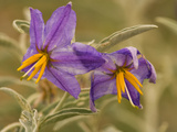 Purple Nightshade (Solanum Xanti) Poisonous Desert Wildflower  Santa Rita Mountains  Arizona