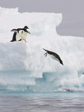 Adelie Penguin (Pygoscelis Adeliae) Diving Off Iceberg into Icy Water  Paulet Island  Antarctica