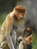 Proboscis Monkey (Nasalis Larvatus) Female with Baby  Sabah  Borneo  Malaysia