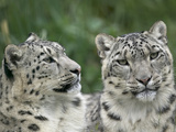 Snow Leopard (Uncia Uncia) Pair Resting Together  Endangered  Native to Asia and Russia
