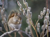 Red Squirrel (Tamiasciurus Hudsonicus) Feeding on Spring Pussy Willow  Alaska
