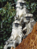 Grey or Common Langur (Semnopithecus Entellus) Trio in the Himalayan Mountains