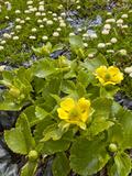 Buttercup (Ranunculus Godleyanus) Flowering Beside Upper Mungo River  New Zealand