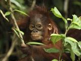 Orangutan (Pongo Pygmaeus) Baby  Camp Leaky  Tanjung Puting Nat'l Park  Indonesia
