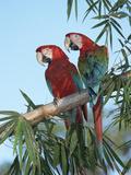 Red and Green Macaw (Ara Chloroptera) Pair  Pantanal  Brazil