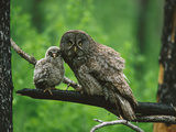 Great Gray Owl (Strix Nebulosa) Adult with Chick  Saskatchewan  Canada