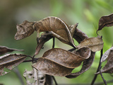 Fantastic Leaf-Tail Gecko (Uroplatus Phantasticus)  Andasibe-Mantadia Nat'l Park  Madagascar