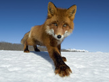 Red Fox (Vulpes Vulpes) on Snow  Kamchatka  Russia
