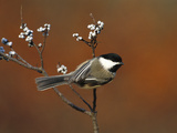 Black-Capped Chickadee (Parus Atricapillus) in Bayberry Bush  Long Island  New York