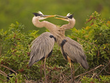 Great Blue Heron (Ardea Herodias) Pair Interacting on Nest in Mangroves  Venice  Florida