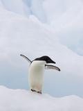 Adelie Penguin (Pygoscelis Adeliae) Flapping Flippers on Iceberg  Paulet Island  Antarctica