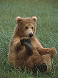 Grizzly Bear (Ursus Arctos Horribilis) Cub Playing  Katmai Nat'l Park  Alaska