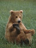 Grizzly Bear (Ursus Arctos Horribilis) Cub Playing  Katmai Nat'l Park  Alaska