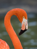 Greater Flamingo (Phoenicopterus Ruber) Portrait  San Diego Zoo  California