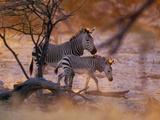 Mountain Zebra (Equus Zebra) Mother and Foal  Etosha National Park  Namibia