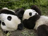 Giant Panda (Ailuropoda Melanoleuca) Young Pandas Playing  Wolong Nature Reserve  China