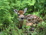 White-Tailed Deer (Odocoileus Virginianus) Fawn Amid Ferns  North America