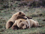 Alaskan Brown Bear or Grizzly Bear (Ursus Arctos) Mother and Cub Sleeping  Denali  Alaska