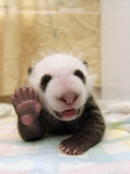 Giant Panda (Ailuropoda Melanoleuca) Cub  Wolong Nature Reserve  China