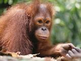 Orangutan (Pongo Pygmaeus)  Orangutan Wildlife Center  Borneo