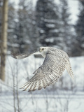 Gyrfalcon (Falco Rusticolus) Adult Female in White Phase Flying  North America