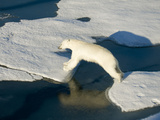 A Polar Bear Takes a Mighty Leap from One Ice Floe to Another