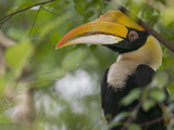 Great Hornbill (Buceros Bicornis) Adult in Tree  Native to Asia